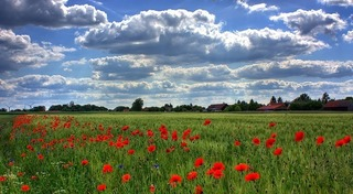 field-of-poppies-50588_640.jpg
